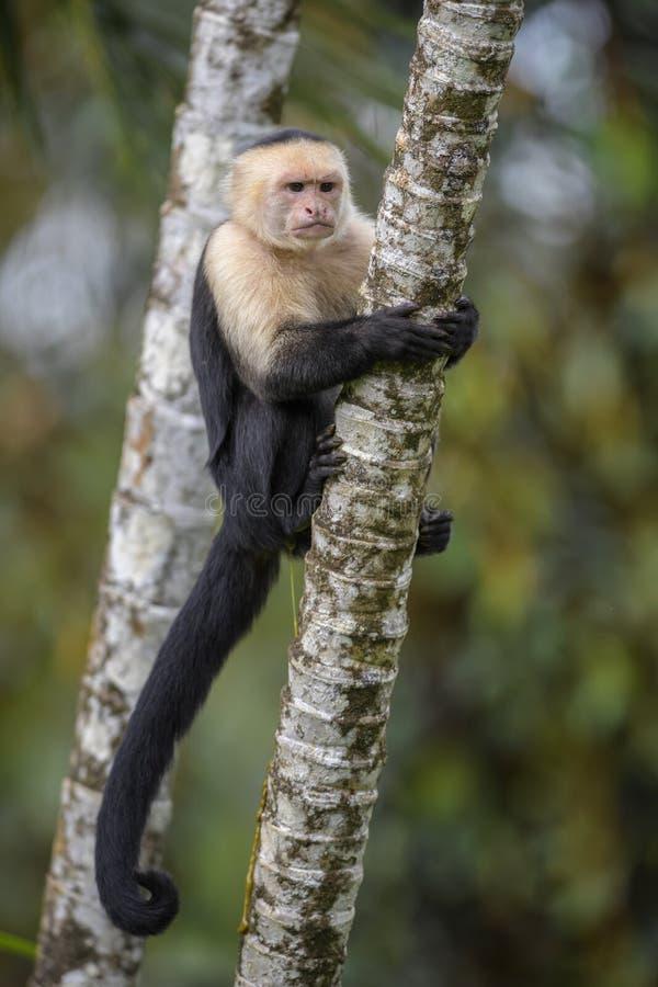 Stawiający czoło Capuchin - Cebus capucinus zdjęcie stock