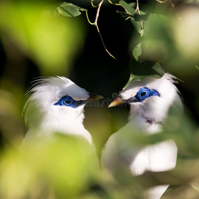 Stawiający czoło Lovebird fotografia stock