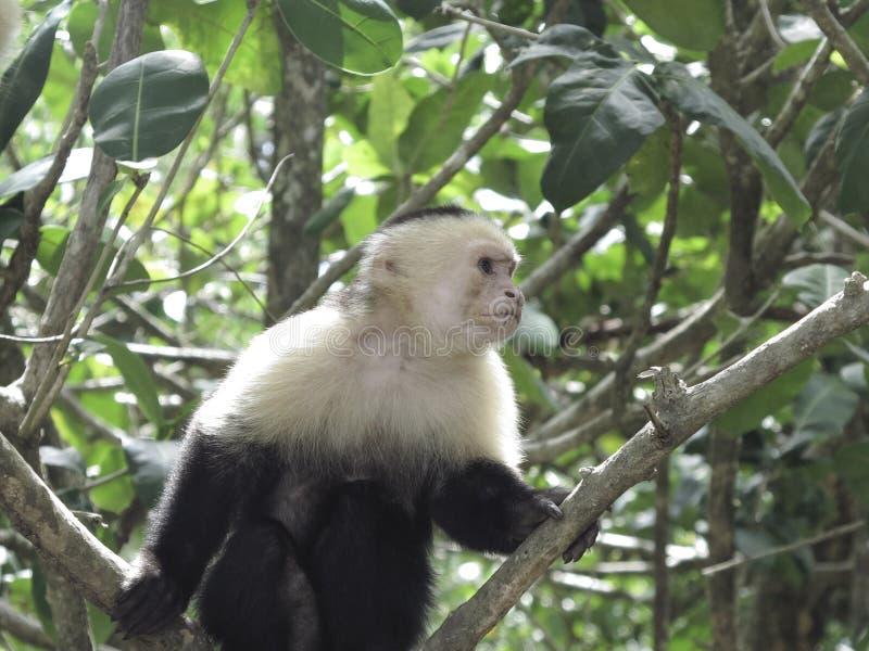 stawiający czoło małpi biel fotografia stock