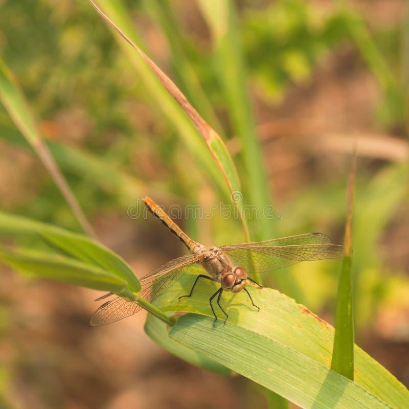 Stawiający czoło Meadowhawk Dragonfy obsiadanie na trawie obraz royalty free