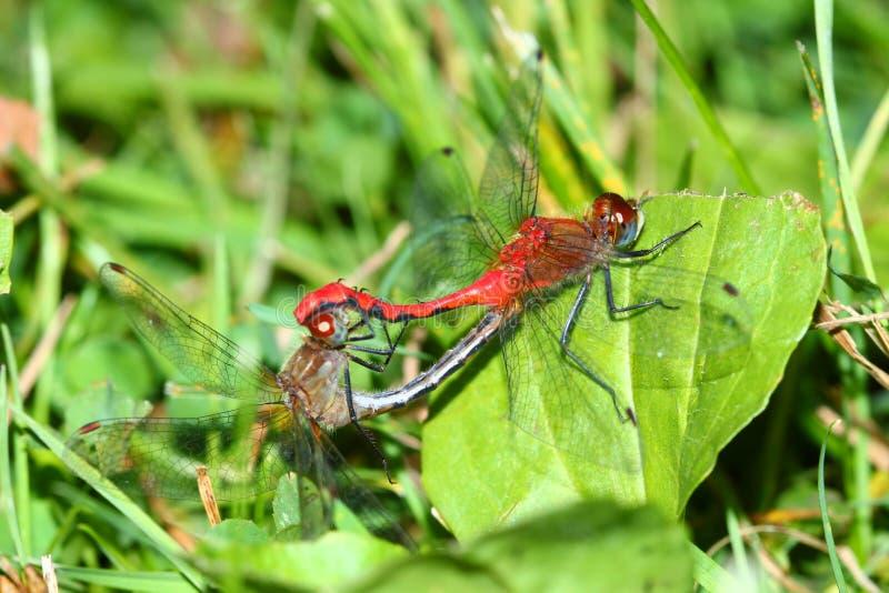Stawiający czoło Meadowhawk Illinois insekty zdjęcia stock