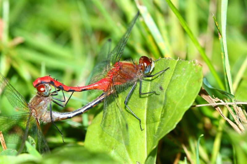 Stawiający czoło Meadowhawk Sympetrum obtrusum zdjęcie royalty free