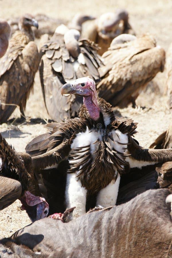Stawiający czoło sępa Serengeti park narodowy zdjęcia royalty free