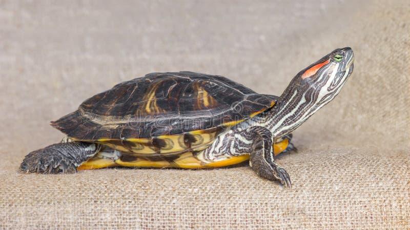 Stawowego suwaka słyszący żółw obrazy royalty free