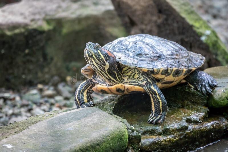 Stawowy suwak lub Trachemys tortoise siedzimy na kamieniu na brzeg staw obrazy stock