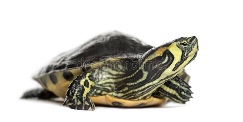 Stawowy suwaka żółw, odizolowywający fotografia royalty free