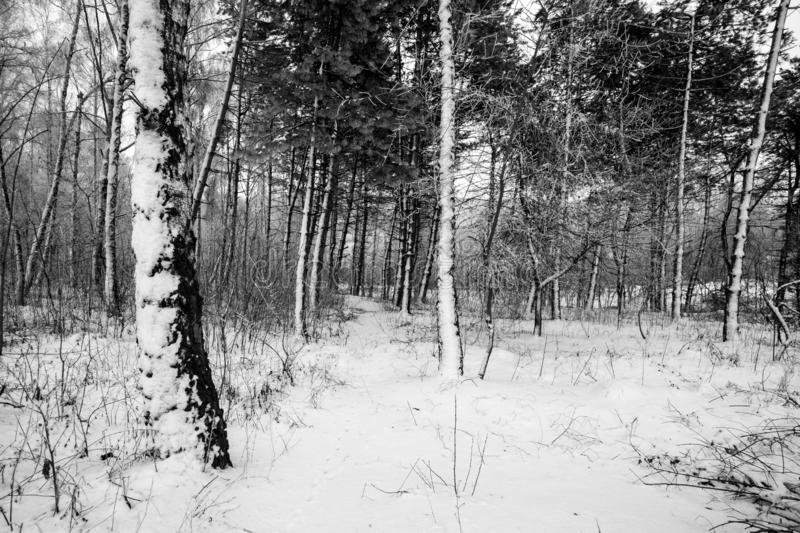 Steadicam shot of the birch forest in winter. royalty free stock photography