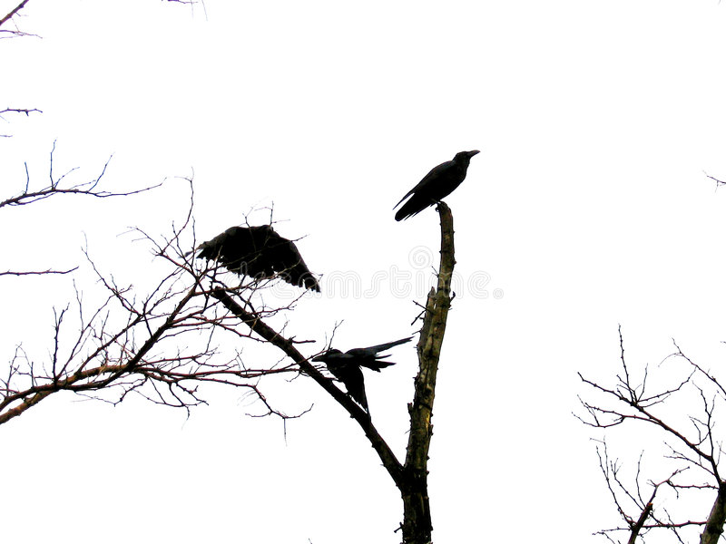 Stealth Crow. A Crow flies in the shape of the US Stealth bomber royalty free stock image