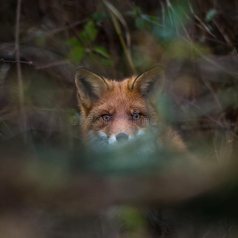 To see but not to be seen, red fox hiding stock images