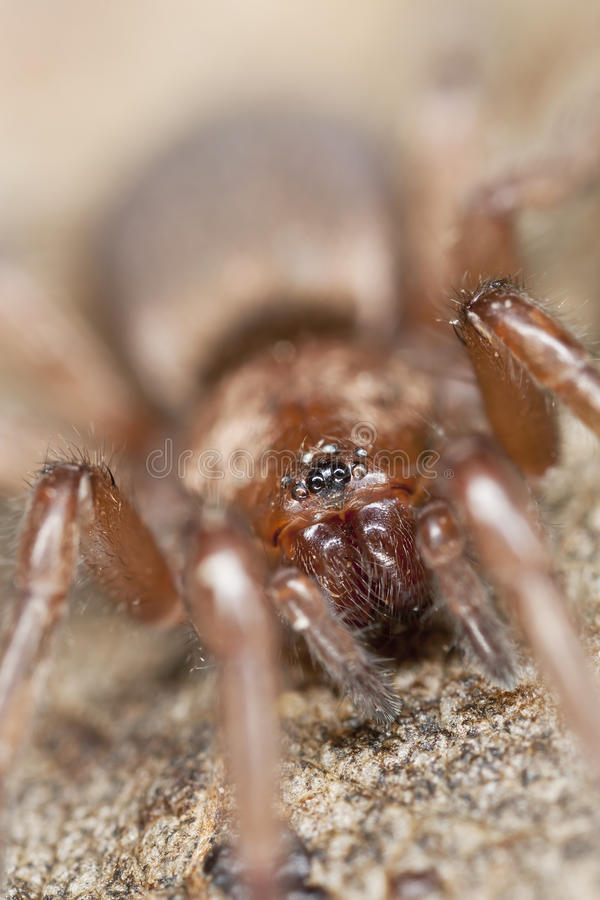 Stealthy Ground Spider (Gnaphosidae) Stock Image