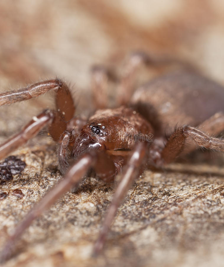 Download Stealthy Ground Spider (Gnaphosidae) Stock Photo - Image: 19064048