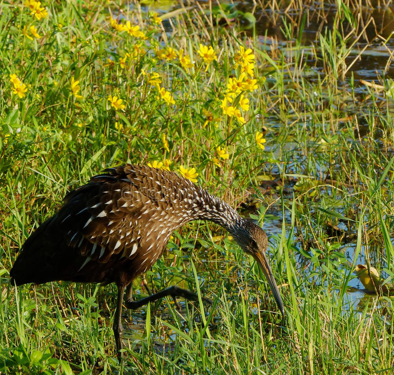 Stealthy shorebird polowanie zdjęcie royalty free