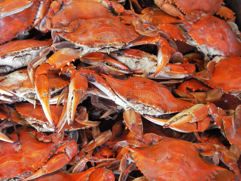 Steamed Hardshells. Photo of steamed hardshell crabs that were caught in the Chesapeake Bay in Maryland. These are called blue crabs and are the most popular royalty free stock images