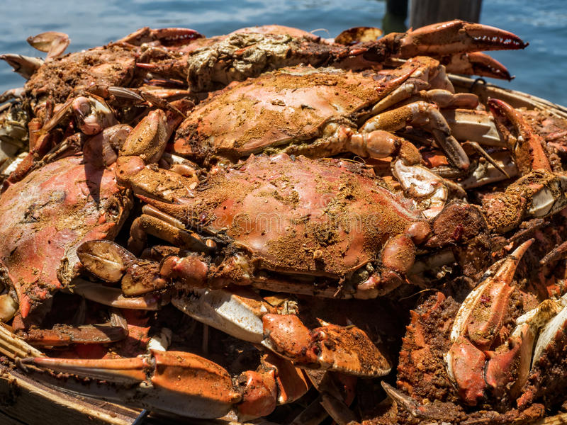 Steamed Maryland Blue Crabs. A basket of just steamed Maryland Blue Crabs covered in bay spice royalty free stock images