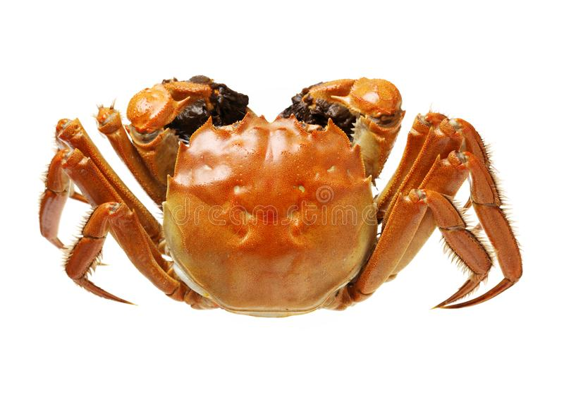 Steaming shanghai hairy crabs, chinese cuisine. Isolated on the white background stock photos