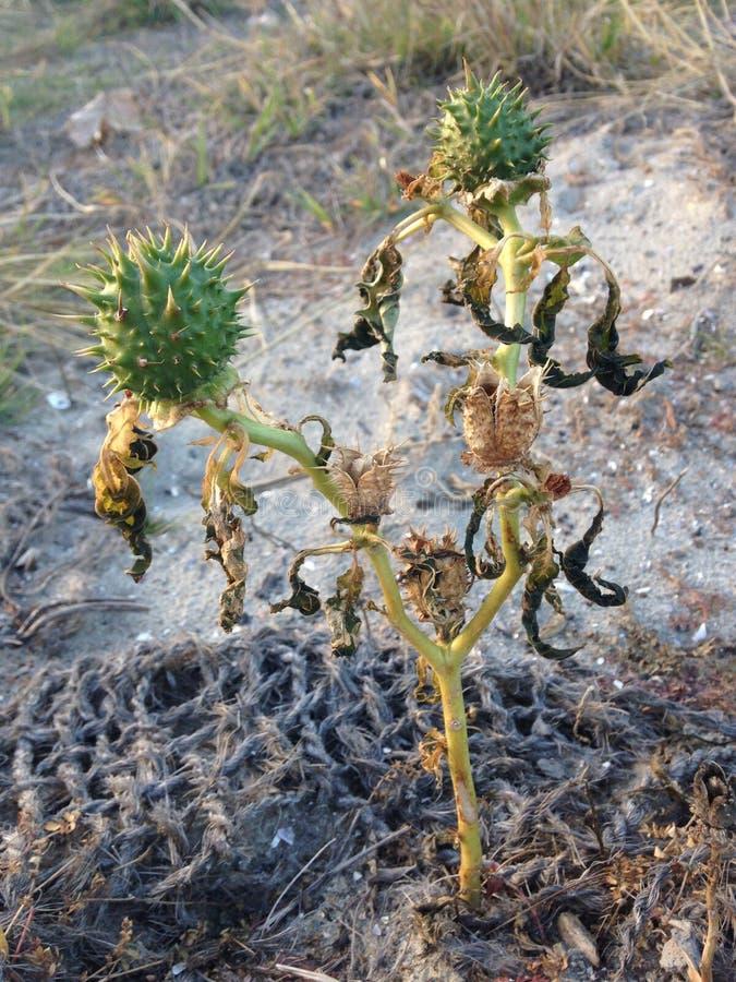 Stechapfel Stramonium-Anlage mit Seedpods im Fall stockfotos