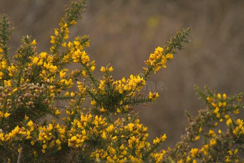 Stechginster in der vollen Blüte lizenzfreie stockfotos