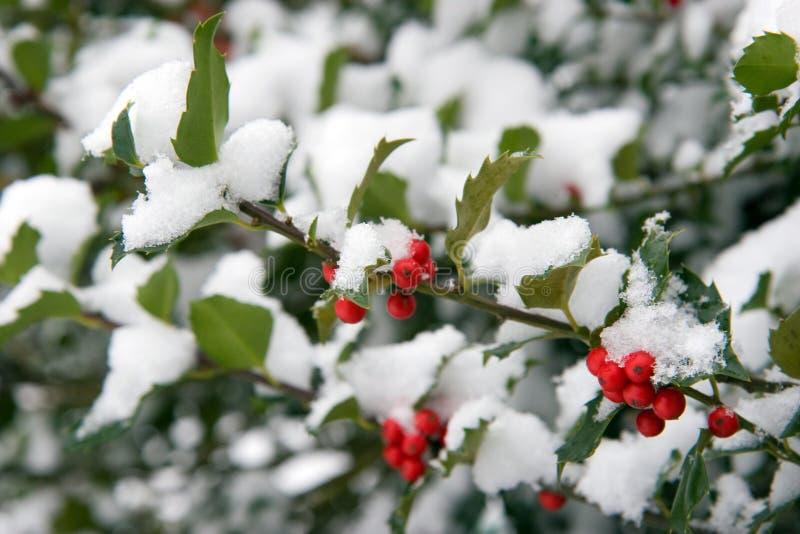 Stechpalme Bush mit Schnee stockbild