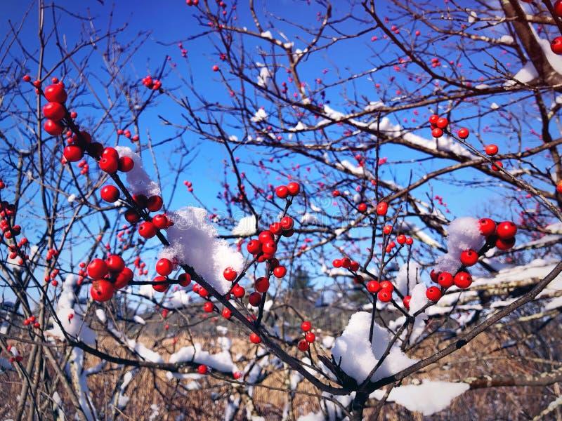 Stechpalmen im Schnee stockfotos