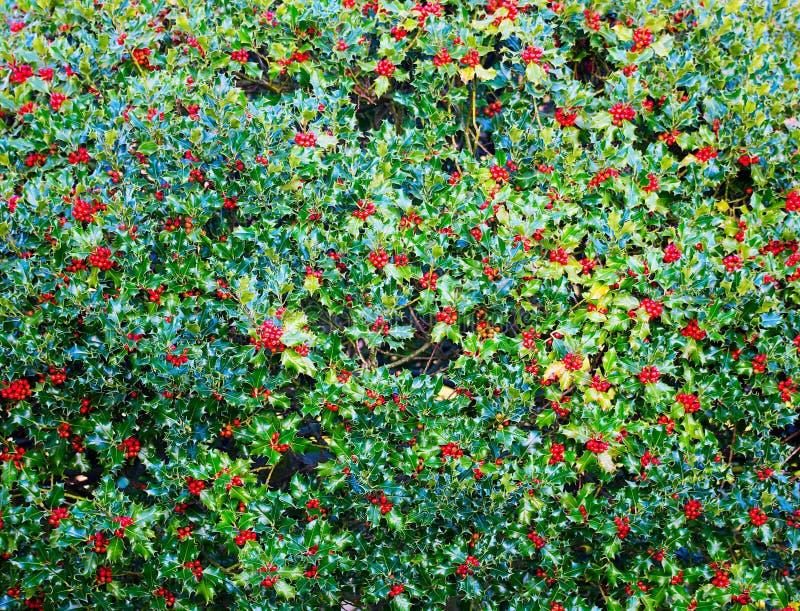 Stechpalmenbusch mit roten Beeren stockfoto