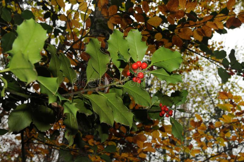 Stechpalmenlaub mit reift rote Beeren in einem Waldilex aquifolium oder Weihnachtsstechpalme Italien lizenzfreie stockbilder