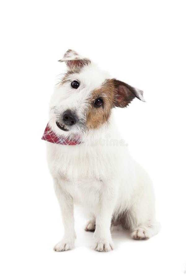Steckfassungsrussel-Terrierhund lizenzfreies stockfoto