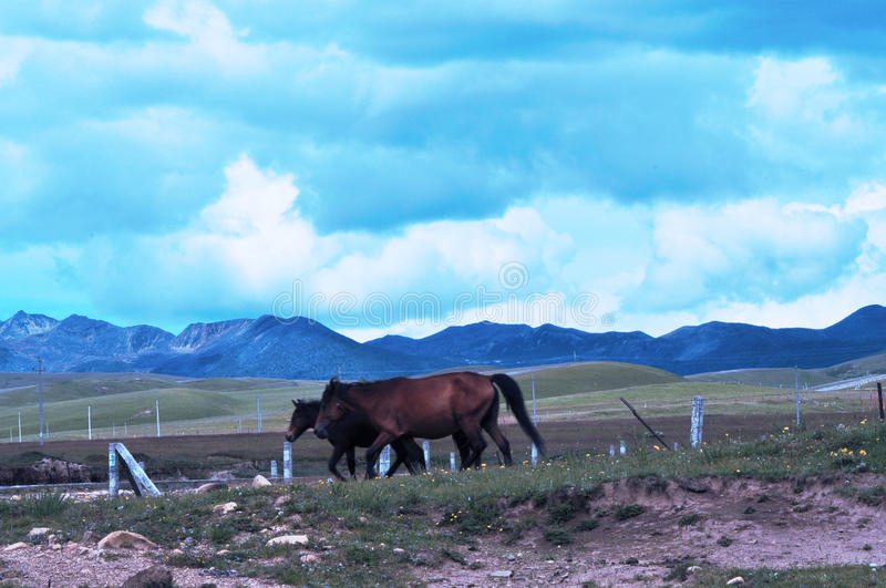 Steeds on the grasslands royalty free stock photo