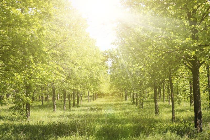 Steeg in een iepbosje in het zonlicht Groen bos in de vroege zomer stock afbeelding