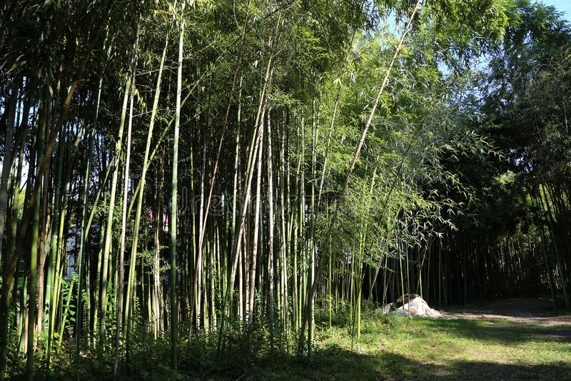 Steeg van bamboe in de Centrale Botanische Tuin stock afbeeldingen