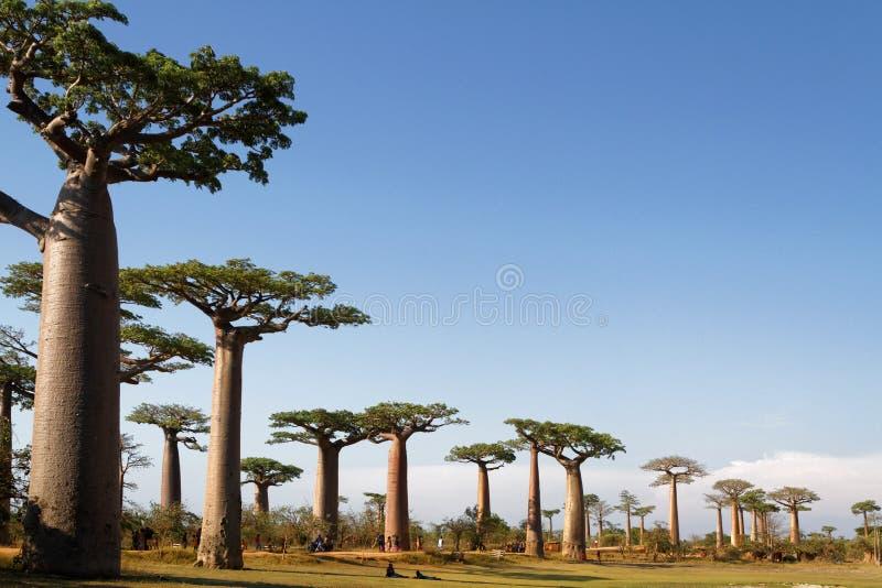 Steeg van Baobabs stock foto