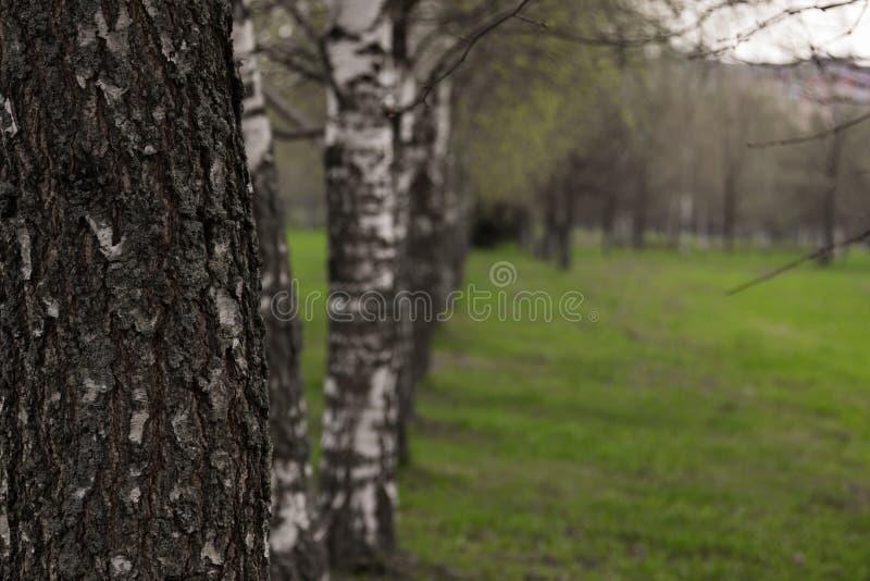 Steeg van Berken Berkbomen in Wit-Rusland Mooie bomen in royalty-vrije stock foto's