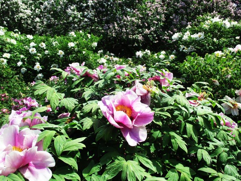 Steeg van het botanische park met lilac struiken, aard, greens, groene installaties royalty-vrije stock fotografie