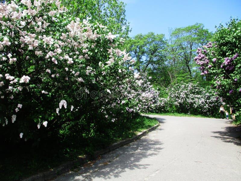 Steeg van het botanische park met lilac struiken, aard, greens, groene installaties stock afbeelding