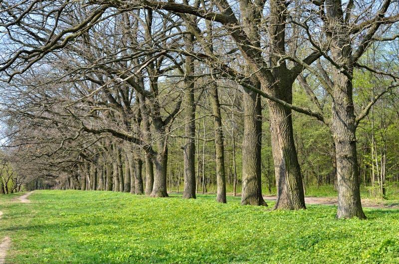 Steeg van oude eiken in de vroege lente in het bos stock afbeelding
