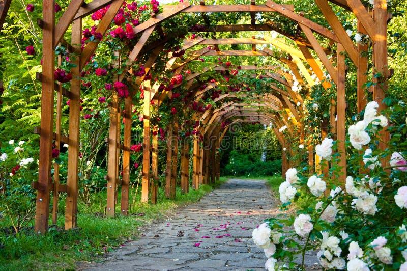 Steeg van rozen stock foto's