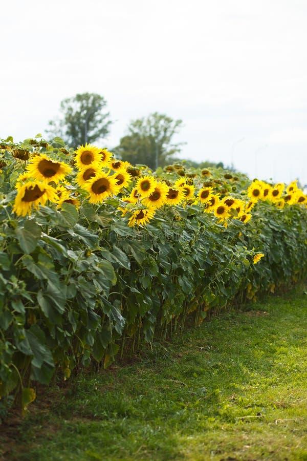 Steeg van zonnebloemen in de stad royalty-vrije stock foto's