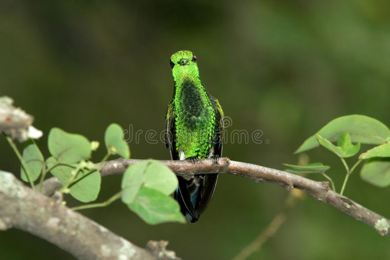Download Steely-vented Hummingbird stock image. Image of rainforest - 60084361