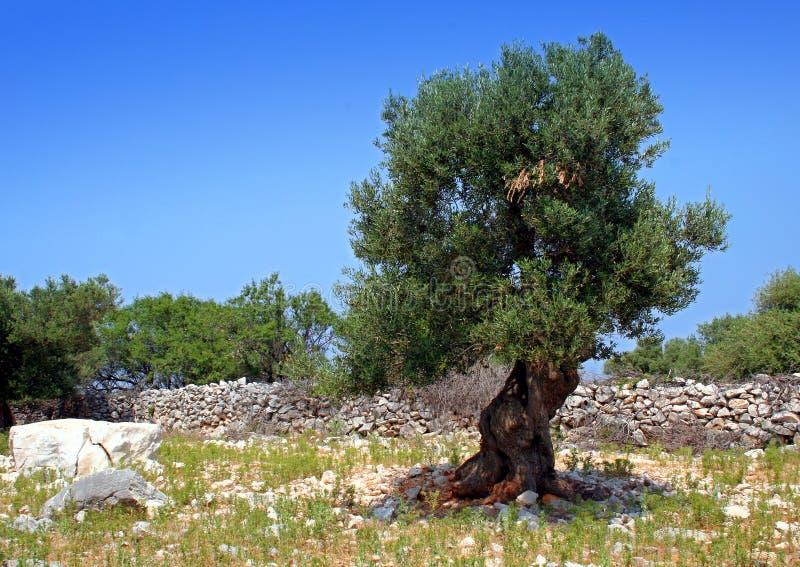 Steen en oude olijfboom stock afbeeldingen