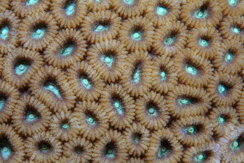 Steenachtig koraal stock foto