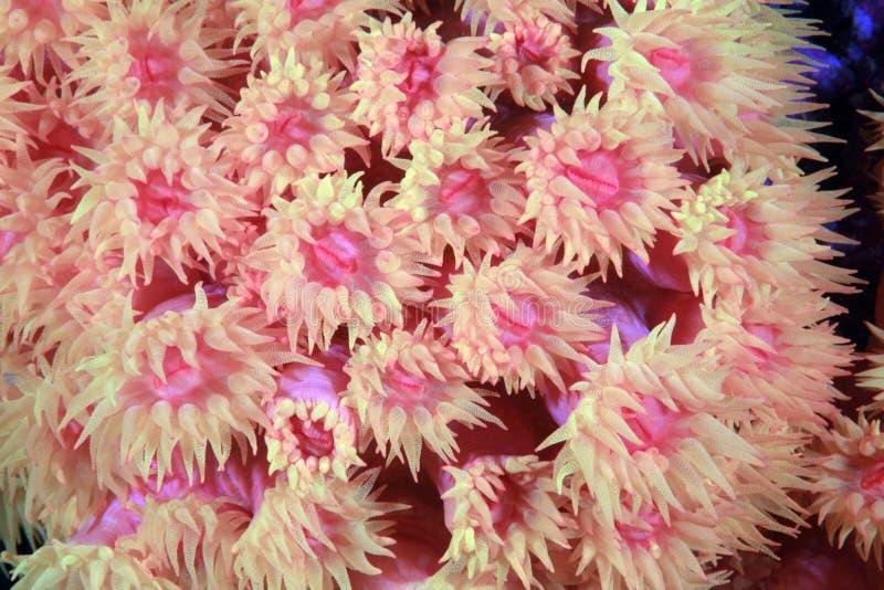 Steenachtig koraal royalty-vrije stock afbeelding