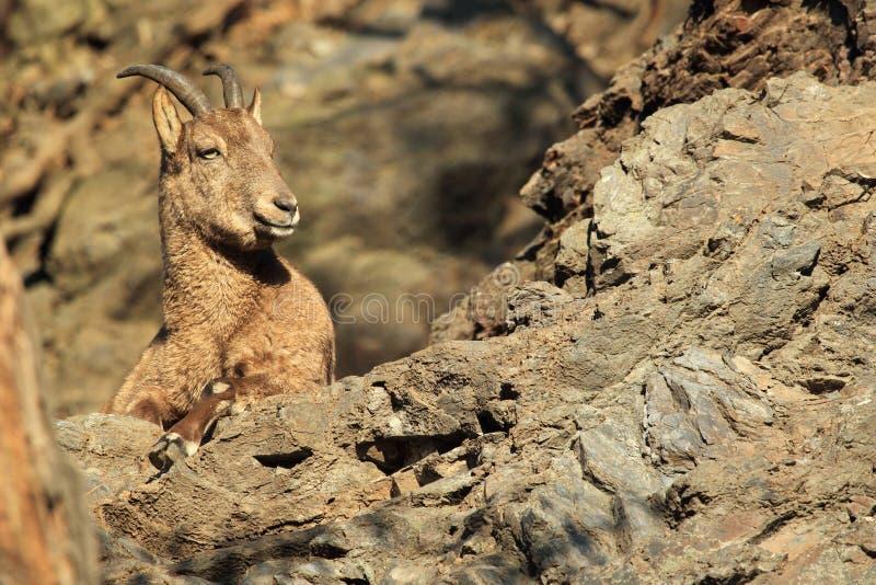 Steenbok stock afbeeldingen
