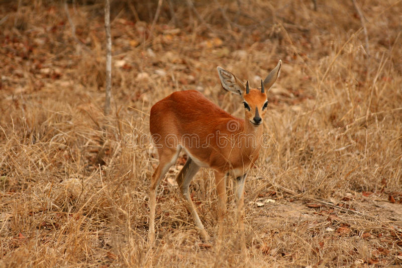 Download Steenbok antelope stock image. Image of ears, conservation - 20487531
