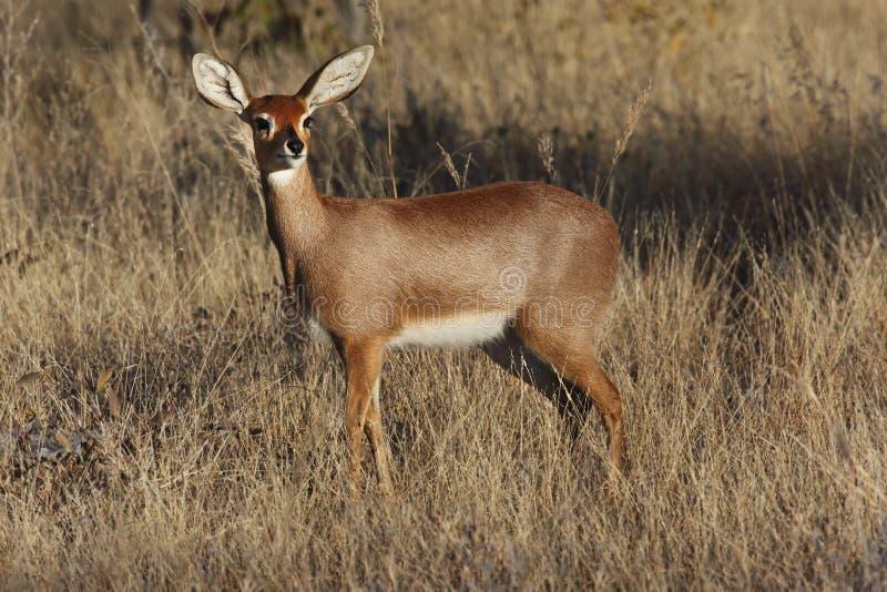 Steenbok Antelope - Savuti - Botswana royalty free stock images