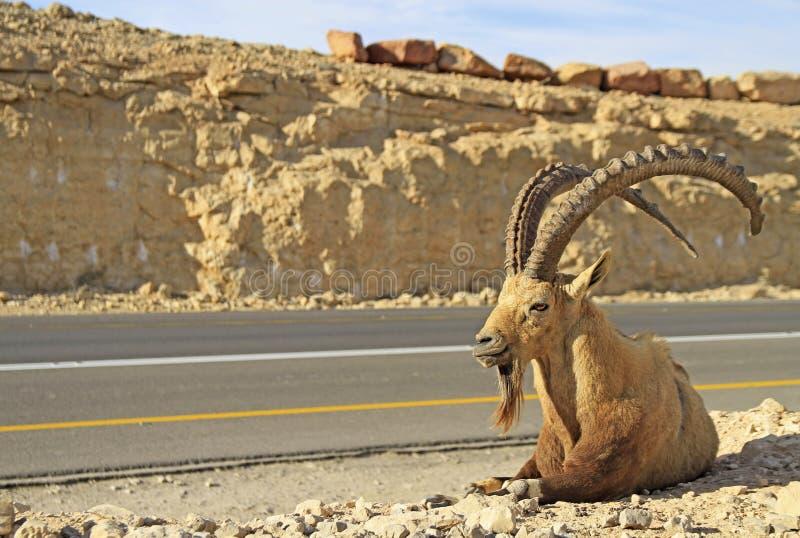 Steenbok bij de weg in de Negev-woestijn stock foto's