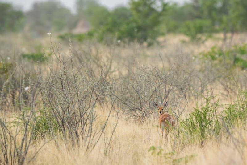 Steenbok - campestris Raphicerus стоковая фотография