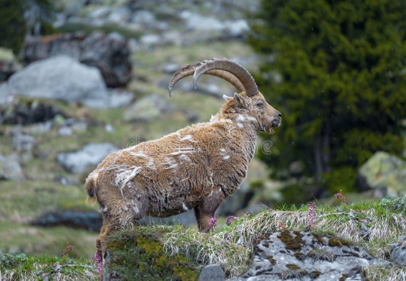 Steenbok in de Zwitserse Alpen stock foto's