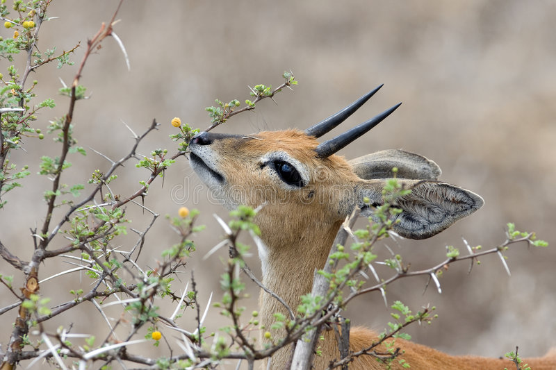 Steenbok male. Male steenbok eating in krugerpark stock photography