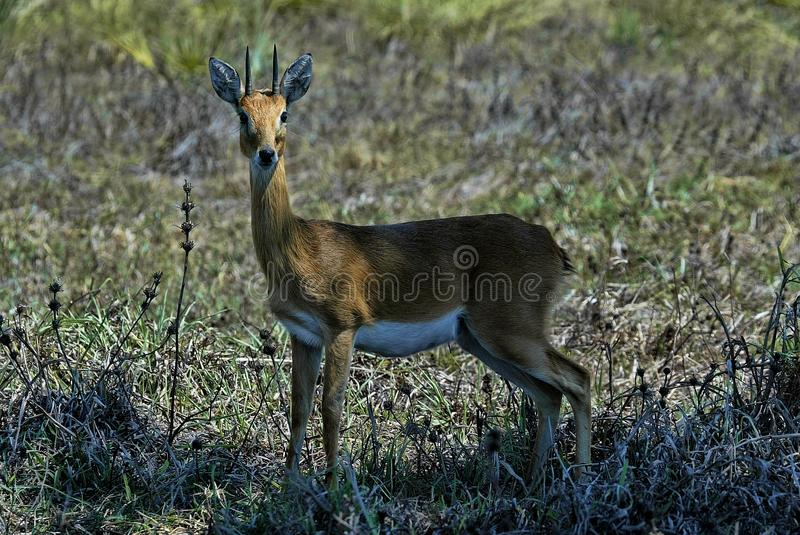 Steenbok masculino, campestris do Raphicerus, Luangwa sul, Zâmbia imagem de stock