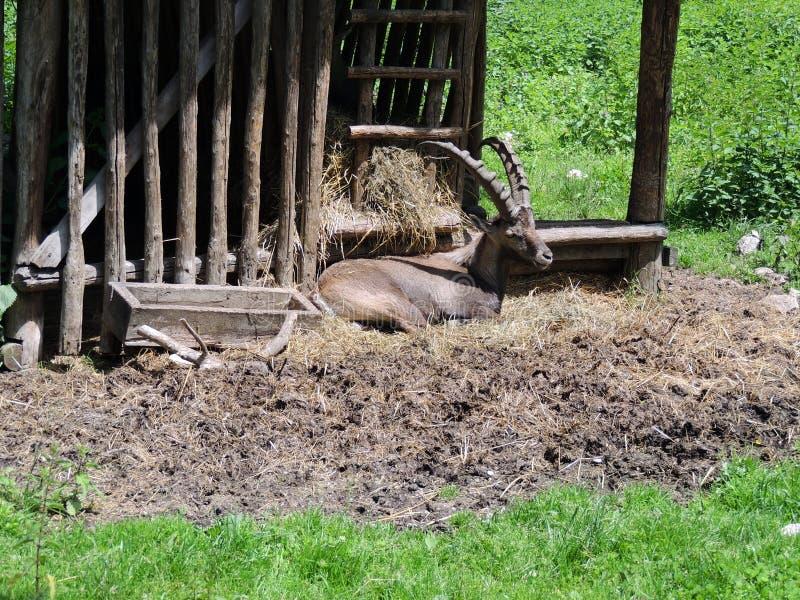 Steenbok onbeweeglijk stock fotografie