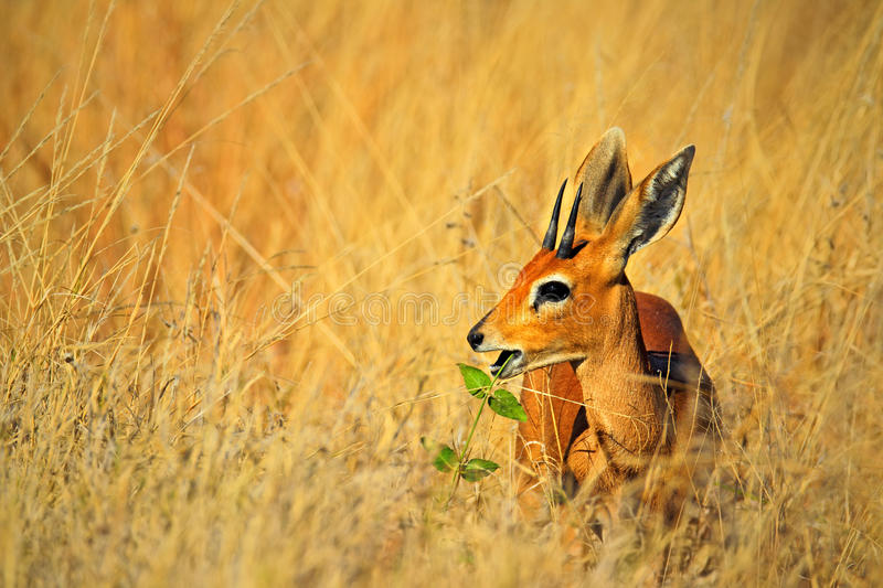 Steenbok, Raphicerus campestris, with green leaves in the muzzle, grass nature habitat, Hwange National Park, Zimbabwe. Africa stock images